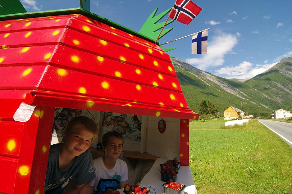 Fraises fraîches et géantes, bombardées au soleil de minuit, cherchent preneurs dans la vallée de Valldal.  Møre og Romsdal.