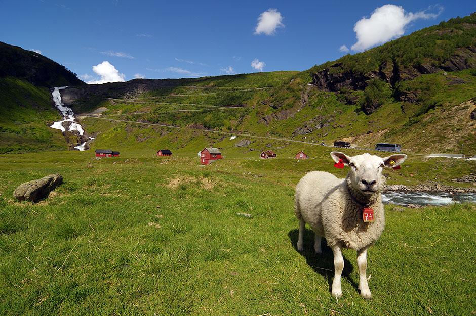 Les moutons sont arrivés dans leurs alpages d'été depuis plusieurs semaines. Myrkdalen, Hordaland.